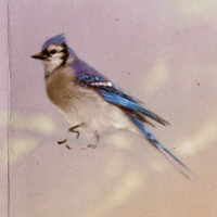 blue jay - a dream of spring by mollygrue