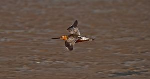 Redshank flying over the beach by Bull04