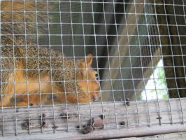 Fox Squirrel 1 by Windthin