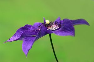 Clematis Sideview by andras120