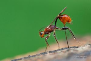 Ovipositing Braconid by melvynyeo