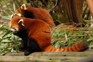Red panda pairing by wildplaces