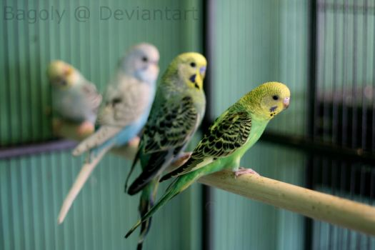 Budgies by Bagoly
