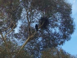 A Raven's Nest by Roses-and-Feathers