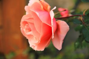 February rose 2 by yasminstock