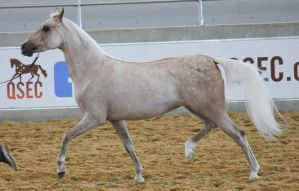 STOCK - Partbred Arabian 48 by fillyrox