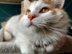 Peter's Pretty Cat Face by TamaraS13