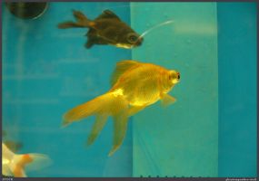 Fish Stock 0051 by phantompanther-stock