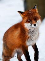 The Red Fox_3 by PictureByPali