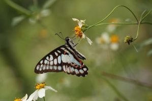 Graphium doson postianus III by fire