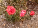 Roses In Succession. by xXAtomQueenXx