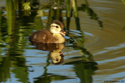 Little Quacker... by natureguy