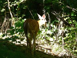Fawn6 by Wicasa-stock