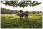 curious cows I by corniger-aries