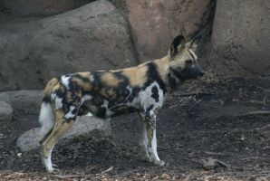 African Wild Dog 006 by MonsterBrand-stock