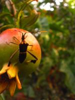 pomegranate insect by ladyroll