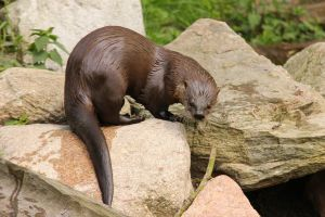 Otter 1 by landkeks-stock