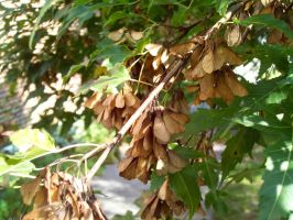 Maple Tree Seeds by DerpyDash64