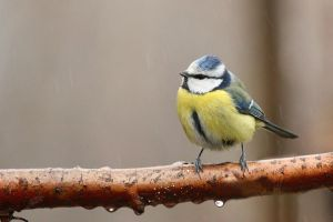 Blue Tit in the rain. I by unbelievablex