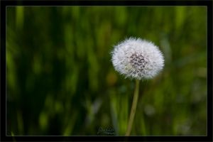 Blowball standing alone by deaconfrost78