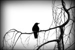 Black Bird by FrankAndCarySTOCK