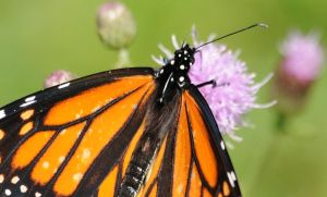 Monarch Butterfly by SpiderPuppy