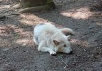 Wolf in Cotswold Wildlife park by LucieWalton