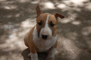 Baby Bullterrier by SouthAfricanFox