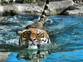 Swimming Tiger by Scarlettletters