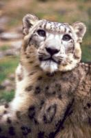 Snow Leopard 8 by Art-Photo
