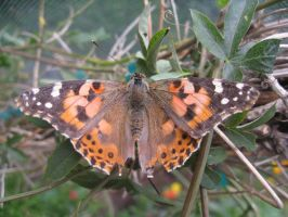 Painted Lady Butterfly by P-isfor-Plushes