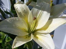 white lilly 1 by RBrownKreationz