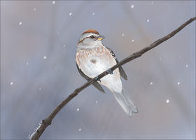 American Tree Sparrow by winternacht