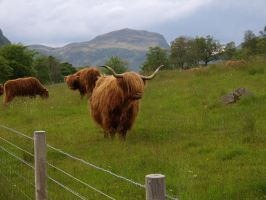 Highland Cow by KatzBlackblade