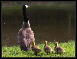 Canada Geese 40D0004109 by Cristian-M