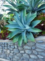 Giant Agave by ShipperTrish