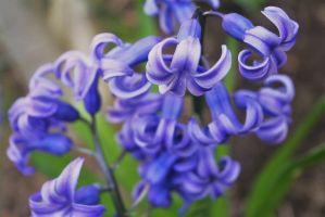 hyacinth in my garden by ingeline-art