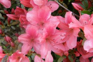 Azalea by redtailhawker