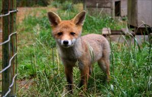 Curious Baby Fox by AvrilxAce