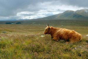 Highland cattle by My-dynig-soul