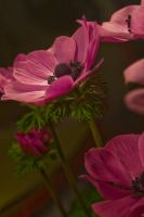 Anenome Stock 3 by Sheiabah-Stock