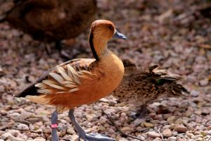 Fulvous Whistling Duck by Tinap