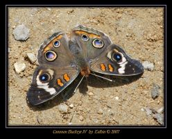 Common Buckeye IV 2161 by Eolhin