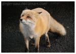 Fox by ginger-paw
