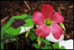 Wonderful flower Oxalis sp. by Pildik