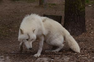 Arctic Wolf 15 by Lakela