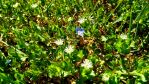 ivy leaved speedwell and star chickweed by ErvinOgrasevic