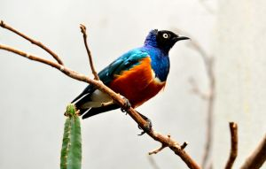 Superb starling by MagicCometART