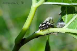 Little Stripped Jumping Spider by stormymay888