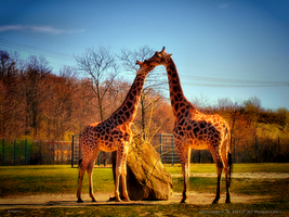 Giraffe Love I by pingallery